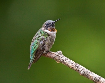 Ruby-Throated Hummingbird sitting on the end of a branch in my backyard No.341 - A Fine Art Bird Photograph