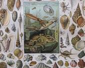 """9 x 12"""" Seashell - antique french color illustration from the Nouveau Larousse Illustré (1897-1904)"""