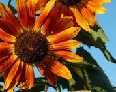 Flower Card Photography Handcrafted Greeting Card Stunning Orange and Yellow Sunflowers with Robins Egg Blue Sky