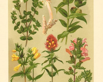 1911 Figworts and Broomrapes, Common Toothwort, Marsh Lousewort, Yellow Rattle, Field Cow-wheat, Eyewort, Cow-wheat Antique Chromolithograph