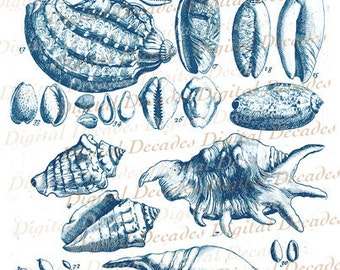 Sea Shells Naturalist Sketch With Blue Treatment Beach Ocean Shore Digital Image - Vintage Illustration - Instant Download