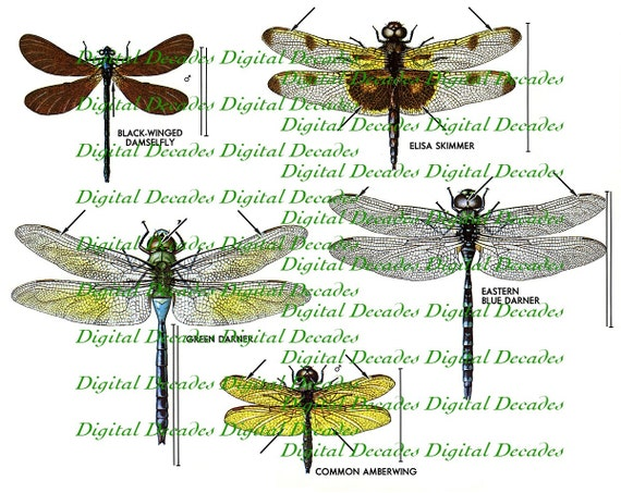 Dragonfly Bug Insect Ponds Skimmer Damsel fly - Digital Image - Vintage Art Illustration - Instant Download
