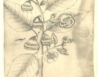 Vintage Botanical Flower Print,  Sketch Drawing Tropical Plant  Maranhao Brazil
