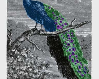 PEACOCK.  Antique children's book illustration / engraving modernized for striking contemporary giclee wall art.  Blue, purple, green.