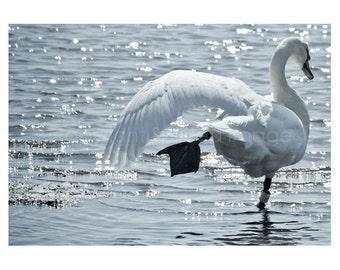 SWAN - Perfect Balance - Photo Print, Swan photography,