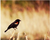 Bird Photography Download, Blackbird, Instant Download, Wall Decor, Bird Lovers, Red Winged Black Bird, Earth Tones, Nature, 10 X 8 Photo