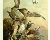 1897 Antique print of BIRDS OF PREY, different species: Hawks, Eagles, Falcons ... Ornithology. 120 years old gorgeous lithograph.