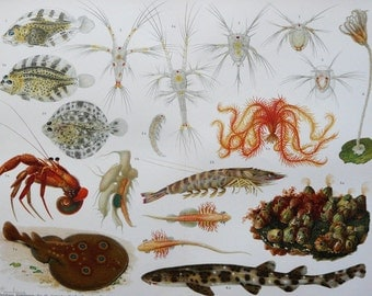 1894 Antique lithograph of SEA LIFE: Crustaceans, Crabs, Marine Animals, Fishes. Natural History. Zoology. 123 years old nice print