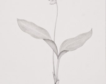 Lily of the Valley Original Pencil Drawing