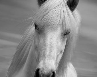 Horse photo, black and white ,horse home decor, white horse, animal photo, icelandic horse, 7.5 x 5 - 18 x 12