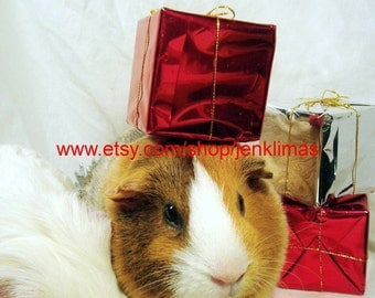 """Funny CHRISTMAS DREAMS Guinea Pig Photograph - Collectible 8x10"""" Limited Edition Print"""