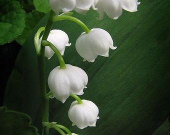 Lily of the Valley Macro Photo - The Sound of Flowers