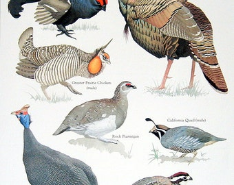 Bird Print - Grouse, Turkey, Chicken, Quail Vintage 1984 Birds Book Plate