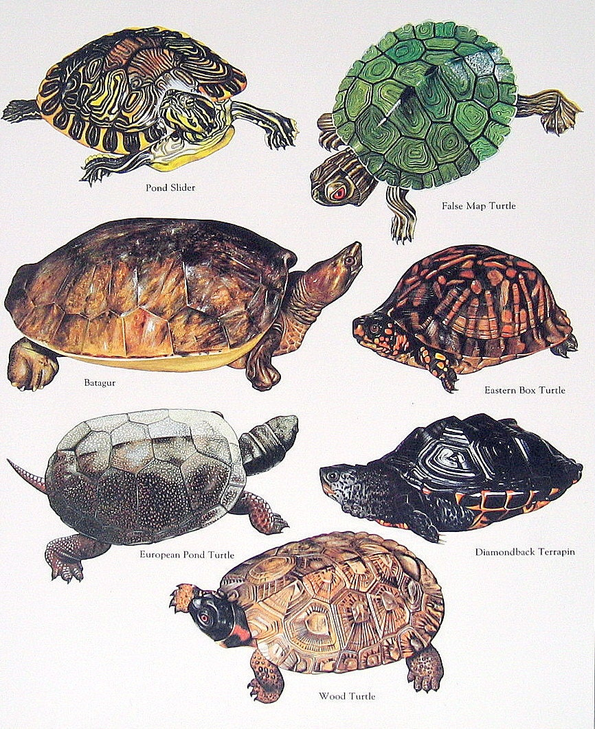 Turtles by color 28 images free coloring pages of the for Turtle color