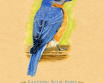 Art Print Blue Bird Bluebird 8 x 10 inches. Original created in colored pencil
