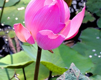 Flower Photography Pink Lotus Flower in Bali Indonesia - Matted Fine Art Photograph - Exotic Water Lily Nature Photography - Spiritual Gift