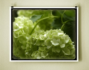 EARLY HYDRANGEA PAUSE - 8x10 Signed Fine Art Photograph