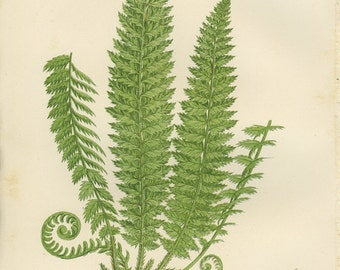 Holly Fern, Reproduction Antique Botanical Fern Print,  Anne Pratt, 1889 Vintage,  For Framing, Country Cottage, Library Decor
