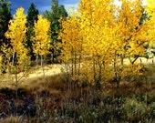 Aspen Forest, Aspen trees, Fall autumn wall art 5 x 7, golden leaves, October foliage, yellow, rustic cabin, lodge decor photograph