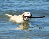 Yellow Labrador Greeting Card Dog Photography Yellow Labrador Swimming with Big Stick in Blue Water Surf  Handcrafted Greeting Card