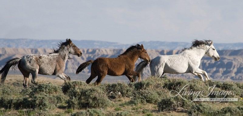 Three Run Fine Art Wild Horse Photograph Wild Horse