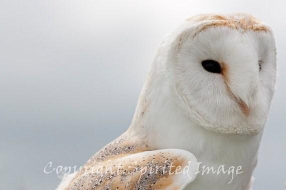 YOUNG BARN OWL, 7.5x5in Print