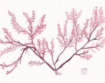Red Seaweed Original watercolor painting - Purple pink flower of the ocean - Sea garden Botanical Algae herbarium