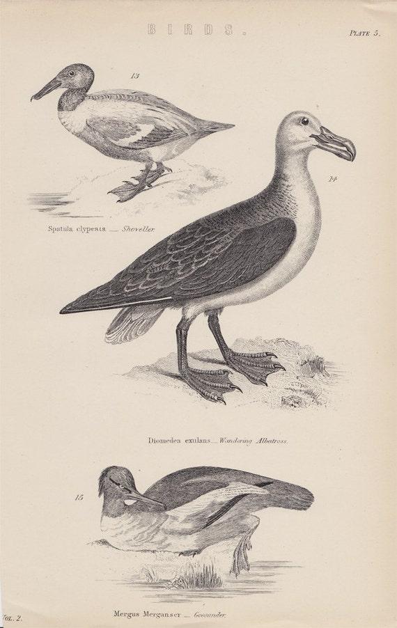 1880  Antique BIRD print, albatross and wild duck, original antique engraving