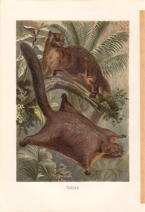 1890 Antique FLYING SQUIRREL print, Red Giant flying squirrel,