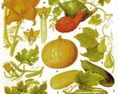 Pumpkin Summer Squash Marrow Hubbard Pattypan Food Chart Vegetable Flower Botanical Lithograph For Your Vintage Kitchen 123