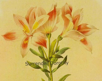 Alstromeria Pelegrina Flower Vintage Lithograph Poster Print Redoute Botanical Lithograph To Frame 13
