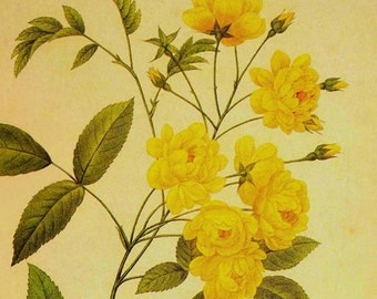 Lutea Yellow Rose Rosa Banksiae Vintage Flower  Redoute Botanical Lithograph Poster Print To Frame 88
