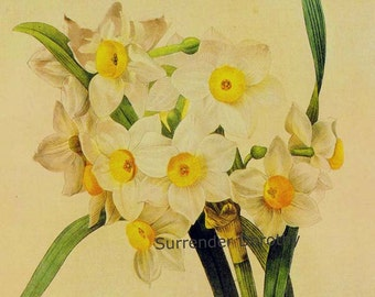 Narcissus Tazetta Flower Yellow Eye Bouquet Vintage Illustration Wildflower Lithograph Redoute Botanical Print To Frame 19