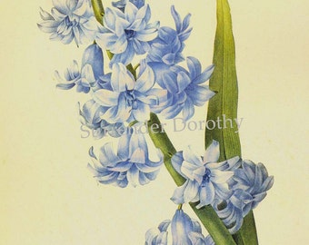 Oriental Hyacinth Hyacinthus Orientalis Blue Double Flower Vintage Lithograph Poster Print Redoute Botanical Lithograph To Frame 4