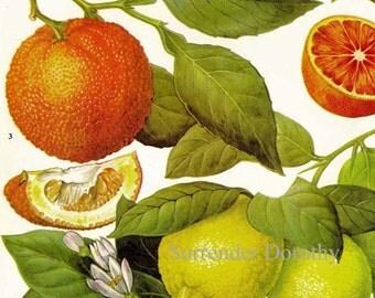 Oranges Lemons Citrus Fruit Flower Chart Food Botanical Lithograph Illustration For Your Vintage Kitchen 85