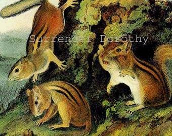 Chipmunk Chipping Squirrel Audubon Print Wild Animal Lithograph Natural History To Frame