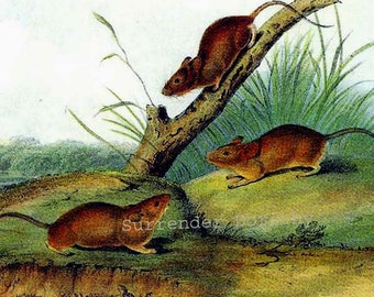 Orange Colored Mouse Audubon Vintage Wild Animal Color Lithograph Natural History Print To Frame