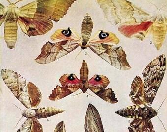 Hyloicus, Pachyshinx Moth Chart 1908 Vintage Entomology Lithograph Natural History Rotogravure Edwardian Illustration VII