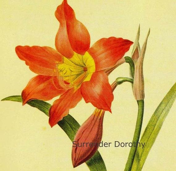 Amaryllis Hippcastrun poniceum Vintage Flower Redoute Botanical Lthograph Poster Print To Frame 14