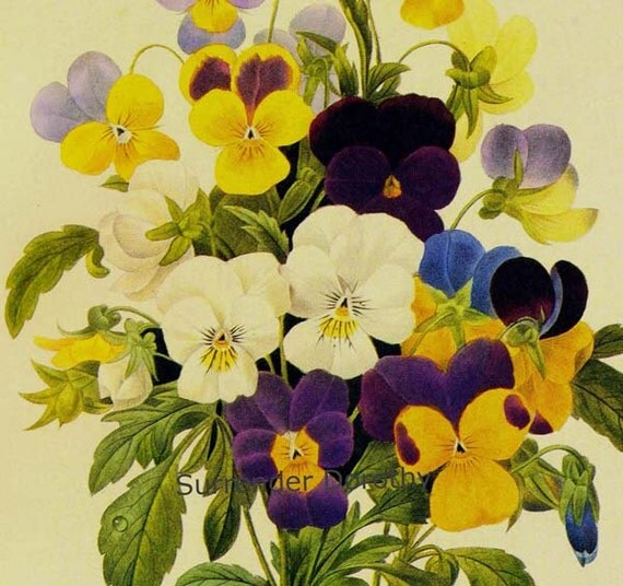 Pansy Bouquet Redoute Vintage Wildflower Botanical Illustration To Frame 64