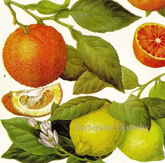 Oranges Lemons Citrus Fruit Flower Chart Food Botanical Lithograph Illustration For Your Vintage Kitchen 85