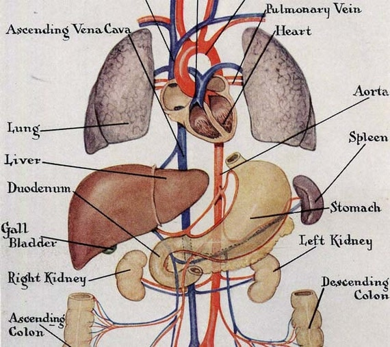 Ciculatory System Anterior Human Anatomy Vintage Medical Chart