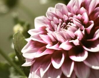 dahlia art, nature photography, flower photography, office wall art, mauve wall art, dahlia print, mauve decor,  flower photo