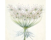 Queen Anne's Lace  Photograph, White Floral Art Print, Shabby  Chic Home, Cottage Chic - JudyStalus