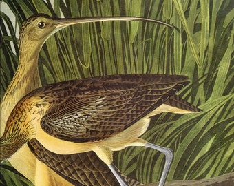 Long Billed Curlew Audubon Plate to Frame or for Paper Arts, Scrapbooking, Collage, Mixed Media and MORE PSS 1550