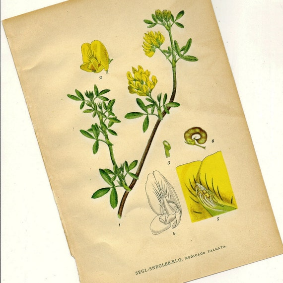 Antique Botanical Print Medicago Falcata (Yellow Flower Alfalfa) from 1906 Nordens Flora to Frame or for Collage, Paper Arts and MORE