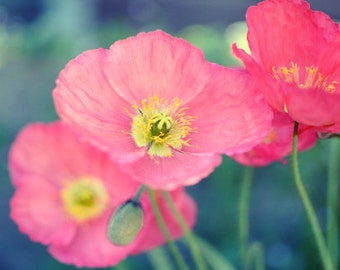 Botanical photography print coral pink poppy flowers wall art print - Coral Poppies