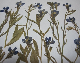 Dried Pressed Flowers for Crafting - Blue Lobelia with Stem and Leaves
