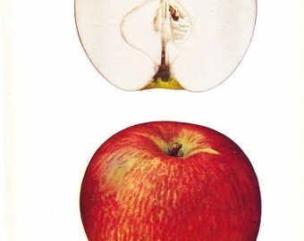 1905 Fruit Print - Stark Apple - Vintage Home Kitchen Food Decor Plate Plant Art Illustration Great for Framing 100 Years Old