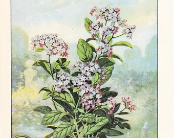 1926 Flower Print - Heliotrope - Vintage Home Decor Botany Art Illustration for Nature Science Woman Great for Framing